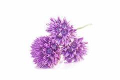 Fiori della erba cipollina Fotografie Stock Libere da Diritti