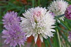 Fiori della erba cipollina Fotografie Stock