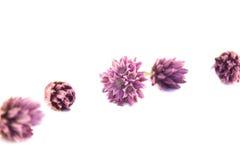 Fiori della erba cipollina, allium schoenoprasum Immagine Stock