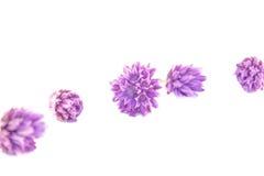 Fiori della erba cipollina, allium schoenoprasum Immagine Stock Libera da Diritti