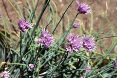 Fiori della erba cipollina (allium schoenoprasum) Fotografia Stock Libera da Diritti