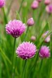 Fiori della erba cipollina in giardino (allium Schoenoprasum) Fotografia Stock