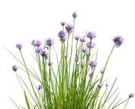 Fiori della erba cipollina su fondo bianco Fotografia Stock Libera da Diritti