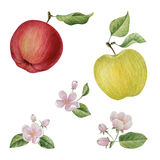 Fiori della fioritura della mela dell'acquerello Fotografie Stock