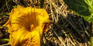 Fiori della fioritura delle piante del cetriolo fotografia stock libera da diritti