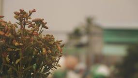 Fiori della foglia di miracolo della pianta di vita di Bryophyllum Pinnatum/della pianta di Goethe immagine stock