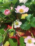 Fiori della fragola in fioritura Immagini Stock Libere da Diritti