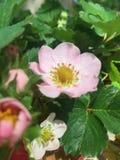 Fiori della fragola in fioritura Immagine Stock