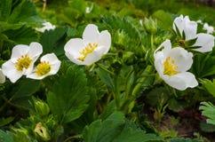 Fiori della fragola nel giardino Fotografie Stock