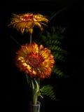 Fiori della gerbera in fioritura fotografia stock libera da diritti