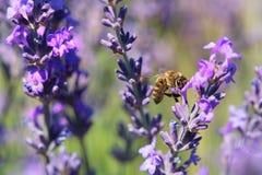 Fiori della lavanda con l'ape in Francia Fotografia Stock