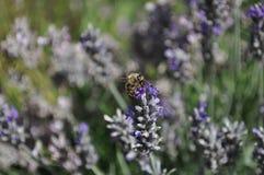 Fiori della lavanda con un'ape che raccoglie polline fotografia stock