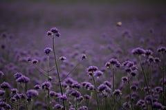 Fiori della lavanda in fioritura fotografia stock