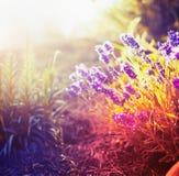Fiori della lavanda nel giardino o nel parco di autunno, tonificato Fotografie Stock