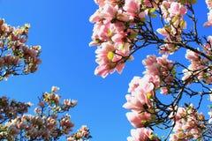 Fiori della magnolia Immagine Stock