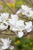 Fiori della magnolia immagini stock libere da diritti