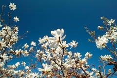 Fiori della magnolia Immagini Stock