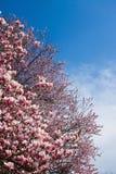 fiori della magnolia Immagine Stock Libera da Diritti