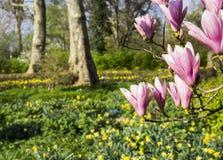 Fiori della magnolia Fotografie Stock Libere da Diritti