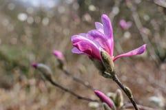 Fiori della magnolia della primavera sullo sfondo naturale Immagini Stock