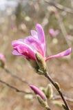 Fiori della magnolia della primavera sullo sfondo naturale Fotografie Stock Libere da Diritti