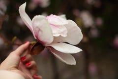 Fiori della magnolia su un ramo in molla in anticipo fotografia stock