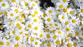 Fiori della margherita bianca stock footage