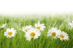 Fiori della margherita bianca in erba verde Fotografia Stock