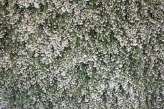 Fiori della margherita bianca sul contesto verde della vegetazione Fotografia Stock