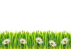 Fiori della margherita e dell'erba Immagine Stock