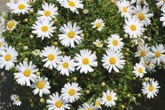 Fiori della margherita in giardino bianco giallo Immagini Stock