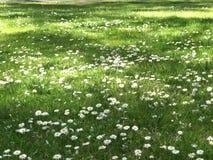 Fiori della margherita sul prato verde Immagine Stock