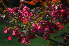 Fiori della mela di Borgogna nella grande prossimità ai precedenti verdi del giardino fotografia stock libera da diritti