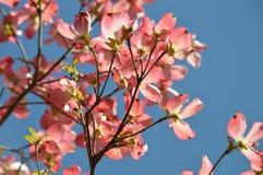 Fiori della mela di granchio con cielo blu Immagini Stock