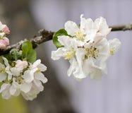 Fiori della mela sul ramo lo sfondo naturale Fotografia Stock Libera da Diritti