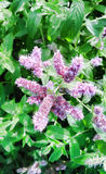 Fiori della menta piperita nel giardino fotografia stock libera da diritti