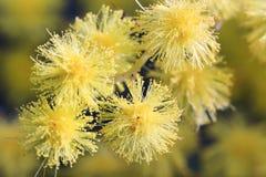 Fiori della mimosa Fotografia Stock Libera da Diritti