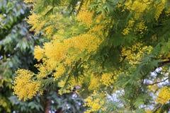 Fiori della mimosa Fotografia Stock