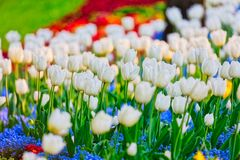 Fiori della molla dei tulipani fotografia stock libera da diritti