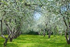 Fiori della molla del ` s del frutteto di frutta primi Fotografia Stock