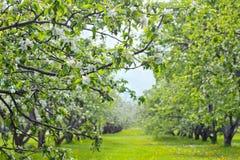 Fiori della molla del ` s del frutteto di frutta primi Immagine Stock