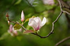 Fiori della molla della magnolia Immagine Stock