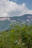 Fiori della montagna fotografia stock