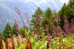 Fiori della montagna Immagine Stock Libera da Diritti