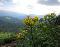 Fiori della montagna dei Carpathians Fotografia Stock Libera da Diritti