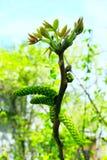 Fiori della noce sul ramo dell'albero Fotografia Stock Libera da Diritti