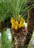 Fiori della palma Fotografia Stock Libera da Diritti
