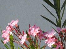 Fiori della palma dell'alloro Fotografia Stock