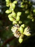 Fiori della palma e dell'ape Fotografia Stock Libera da Diritti