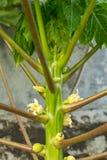 Fiori della papaia della papaia Immagine Stock Libera da Diritti